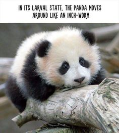 Unbelievable Facts About Animals - In its larval state, the Panda moves around like an inch-worm | www.ghantagiri.com #ghantagiri #Animals #Panda