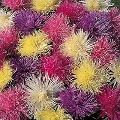 Aster 'Spider Chrysanthemum Mixed' seeds from Thompson & Morgan - experts in the garden since 1855
