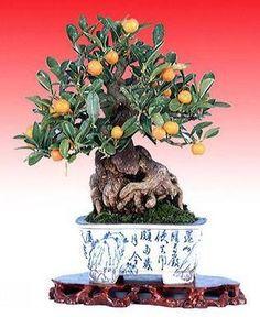Orange Tree Bonsai in a Beautiful Pot... Yes!