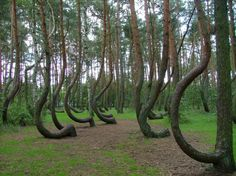 The Wry Forest in Nowe Czarnowo near Gryfino, Poland, has 400 pines that have grown crooked. Believed to be 75-80 years old, there is no known explanation or logical reason why these trees have grown this way. Some believe that furniture builders may have caused the trees to bend so they could harvest the bent wood for their furniture, but that is only speculation