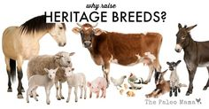 group of farm animals : cow sheep horse donkey chicken lamb ewegoat pig in front of a white background Poster. Fly Spray For Horses, Farm Animals, Cute Animals, Wild Animals, Veterinary Services, Stock Image, Animal Wallpaper, Animal Welfare, Livestock