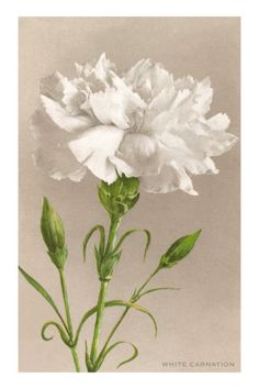 """CARNATION - Birth Month Flower of January -- Stands for love, fascination, distinction, whimsical, fanciful and faithfulness.  Carnations are the birth flower for January, especially the """"white carnation"""".  Different color carnations have different meanings."""