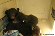 PGC finds adoptive dens for three orphaned black bear cubs
