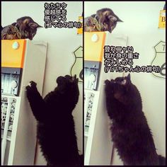 いつもババちゃん(♂)から 不意にプロレス技かけられてる ゴマちゃん(♀)の、安住の地😹 隣のミニコンポまでは登れるのだけど、 そこからが登れないババちゃん(♂)😹 #愛猫#猫#猫部#ねこ部#きじとら #きじとら猫#キジトラ#キジトラ部#キジネコ#きじねこ#きじとらねこ#きじとら部 #cat#gato#gatto#chato#japanesecat#ねこら部 #保護猫#元野良猫 #愛猫同好会#愛猫家#catstagrammer #catstagram#catlover#黒猫#BRACKCAT#俳句 #多頭飼い#リジェ猫 ★ペットショップで買わないで★ これから猫や犬を飼う方は、お金で買わずに、 里親さんになるという選択肢も入れてくださると、 日々殺処分され続けてる保健所の犬猫達や、 ペットショップの裏側で過酷な環境を強いられ続け最期は殺処分という不遇な繁殖犬や繁殖猫が、救われます😺🐶 ペットショップで買う人が居なくなれば、売れ残ったまま大きくなって殺処分されてしまう犬猫も救われます😺🐶