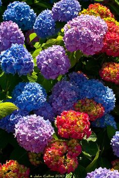 Colorful flowers - Hydrangea blooms - photographer John Collins - My site Amazing Flowers, My Flower, Colorful Flowers, Beautiful Flowers, Hortensia Hydrangea, Hydrangea Garden, Hydrangeas, Deco Floral, Arte Floral