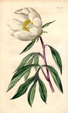 Paeonia albiflora White-flowered Peony from William Curtis Best Prints Art Vintage, Vintage Botanical Prints, Botanical Drawings, Antique Prints, Illustration Botanique, Illustration Blume, Botanical Flowers, Botanical Art, Art Floral