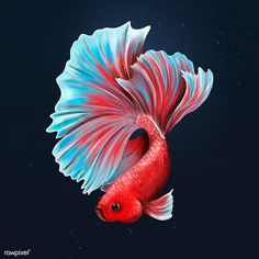 Colorful betta fish on a midnight blue background design resource  | premium image by rawpixel.com / Te Dark Backgrounds, Wallpaper Backgrounds, Aggressive Animals, Fish Illustration, Fish Drawings, Animals Of The World, Free Illustrations, Betta Fish, Midnight Blue