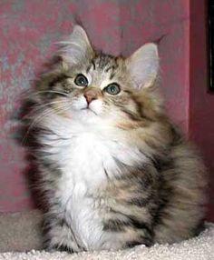 Sweet Furry Kitten