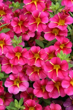 Superbells Cherry Star. Superbells are a hybrid plant and are meant to look like small petunias. Start early spring to first light frost.  Not as finicky as regular petunias. Click on image and it will take to ProvenWinner info about this plant and others. These are just fab!!!! and just loooooooove the color!!! Make me soooo happy so could not wait until early spring to pin!!!