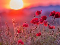 1000+ images about ياااا فاطمه on Pinterest | Poppies, Beautiful sunset and Red poppies