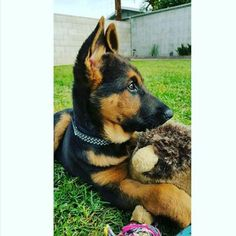 www.gsd-store.com <- link in the description! #gsd#germanshepherdsofinstagram #germanshepherdoftheworld #germanshepherd#dog#doggy#instadog #instapic#picoftheday #owczarekniemiecki #pies#k9#big#picoftheday #germanshepherdonline #germanshepherd4life #l4l#like4like #likeforlike #likeme#f4f#followforfollow #follow4follow #followme by germanshepherdfanpage