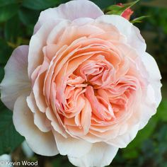 'A Shropshire Lad' | Shrub. English Rose Collection. Bred by David C. H. Austin (United Kingdom, 1997). | Flickr - © kevin wood
