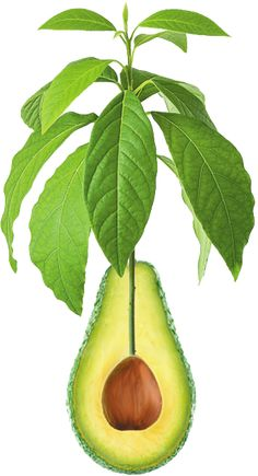 Stay tuned for a family of super health products! Avocado Leaves, Superfoods, Back Pain, Health Products, Stay Tuned, Tooth, Avocado, Meet, Super Foods