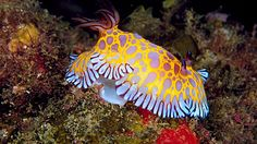 Chromodoris roboi