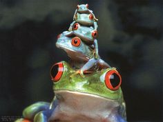 Red eyes frogs pyramid #nolifescience