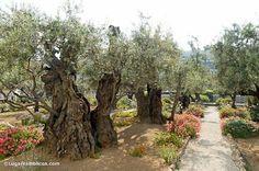 Olivos en Getsemaní, El Monte de los Olivos