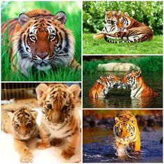 Tiger is the most endangered animal species already there are only 3200