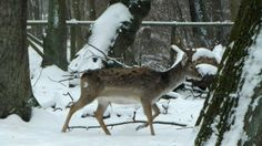 Hirsch auf kunstpause: Ohrstecker, schmuck durch den Winter