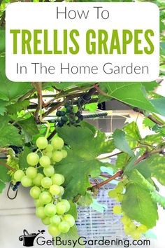 Grapes are climbing vines that make wonderful privacy screens when trained on a trellis, or growing on an arbor or pergola covering a deck or patio. It's not hard to grow grapes at home in your backya Toile Pergola, Outdoor Pergola, Backyard Pergola, Pergola Ideas, Pergola Plans, Metal Pergola, Arbor Ideas, Patio Ideas, Pallet Pergola