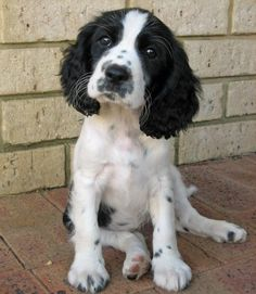 English Springer Spaniel I just want to kiss this baby face!