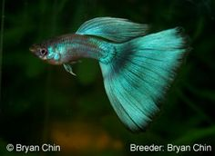 green delta tail guppy - can range from very light mint to very dark forest green