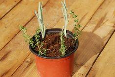 Namnožte si rozmarín, tymián a šalviu Flowers, Garden Containers, Garden, Cottage Garden, Plants, Herbs, Grafting, Gardening Tips, Vegetation