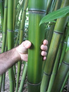 """Phyllostachys vivax """"Huanwenzhu"""" Bamboo Species, Bamboo Canes, Beach Shack, Garden Plants, Photographs, Survival, Trees, Science, Gardening"""
