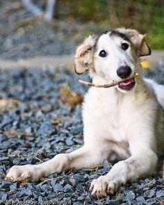 Borzoi / Russian Wolfhound Borzoi Puppy, French Bulldog Mix, Russian Wolfhound, Most Beautiful Dogs, Dog Best Friend, Australian Cattle Dog, Dogs And Puppies, Doggies, I Love Dogs