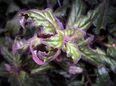 Purple Velvet Plant