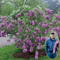 Lilac Sunday Lilac  This outstanding Lilac is blessed with a number of superior qualities! Its gracefully arching branches create a distinctive cascade of blooms, and it does it reliably each spring. The fragrant flowers are borne in amazing abundance, and the foliage is resistant to mildew, that bane of Lilacs.