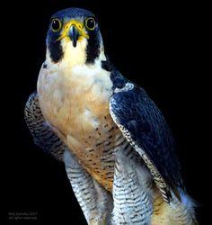Nick Kerosky to Winged Wonders - Bird Photography    Peregrine Falcon, Penitentiary Glen Bird Sanctuary, Kirtland, Ohio