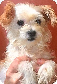 Oswego Il Shih Tzu Yorkie Yorkshire Terrier Mix Meet Lulu And