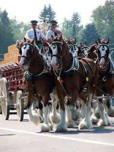 Budweiser Clydesdales – Simply Marvelous Horse World Big Horses, Work Horses, Pretty Horses, Horse Love, Beautiful Horses, Animals Beautiful, Beautiful Creatures, Zebras, Clydesdale Horses Budweiser