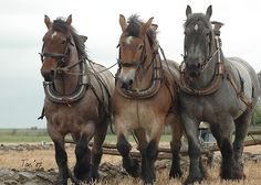 The Dutch Heavy Draft Horse, also simply known as the Dutch Draft, Dutch Draught, or Nederland Trekpaard, is a draft horse from the Netherlands. They were developed after World War I for heavy draft and farm work. Img: Driespan by Ton van der Weerden