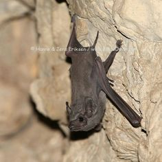 Egyptian tomb bat