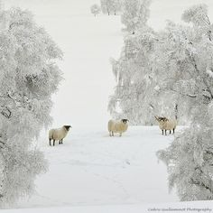Sheep in Scotland: This is what our place will look like in the AM!