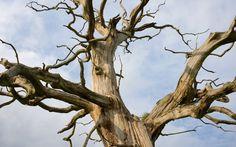 Britain's last elms threatened with disease