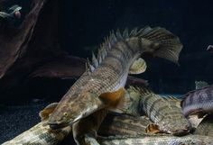 Best photos, images, and pictures gallery about dinosaur bichir  #dinosaurbichir