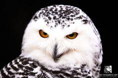 Schneeeule Tierpark Altenfelden Park, Animals, Owls, Snow, Animales, Animaux, Parks, Animal, Animais