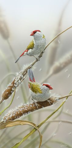 """Red-browed Firetail Finches"" - artwork by Christopher Pope - now available as fine art reproductions - http://www.artreproductions.com.au/gallery.php?artid=2434"