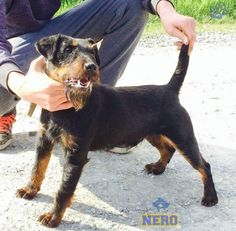 Terriers, Animals, Hunting, Animales, Animaux, Terrier, Animal, Animais