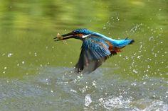 Fish ! , Kingfisher by Mubi.A