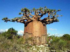 Baobab tree. It's fruit has 8 times as much vitamin C as an Orange.