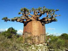 Baobab Tree.   Also known as the upside-down tree, or the tree of life. There are species of this tree in Madagascar, the African mainland, and Australia.