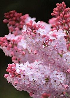 Pink Lilacs!!! Where do I buy one???