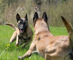 Lets play! #Belgian #Malinois