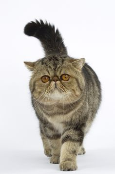 Exotic Shorthair #cat. Enter Royal Canin's Pinterest contest to win a $100 gift card and other great prizes for your kitty! http://on.fb.me/GBc597
