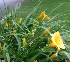 Gardening & Outdoors: The *Secret* to Making Daylilies Bloom Again!