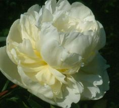 Marie Lemoine Creamy White Double Peony/ Paeonia lactiflora - Kelways  (Calot 1869) A classic nineteenth century peony which is still adored 140 years later. Large globe shaped flowers of soft creamy white. Similar to Duchesse de Nemours, but possibly a little more yellow in the centre of the bloom. The sweetly scented flowers are particularly good for cutting. A later flowering variety which is also shorter growing to 85cm so it rarely needs staking.