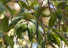 Ptilinopus granulifrons - Cerca con Google